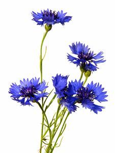 Image result for watercolour cornflowers