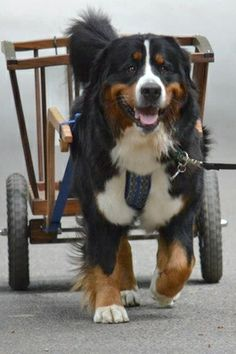 Bernese Mountain Dog Club Of Greater Seattle - Gallery