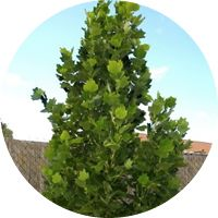 Maple Grove Nursery - Liriodendron tulipfera 'Fastigiata', Column Tulip Tree Description: Tulip tree with very upright compact growth. Ideal for narrow spot. Green white flowers appear in Spring. Tree Shape: Columnar. Tree Size: 9m in 20 years.