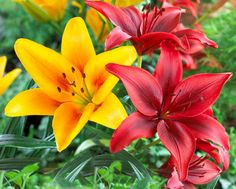 napsugar1958 - flowers,garden, - csodás virágok Types Of Lillies, Different Types Of Lilies, Types Of Flowers, Asian Lilies, Summer Bulbs, Lilly Flower, Trumpets, Flower Stands, Plants