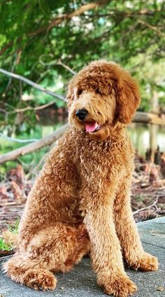 Standard Goldendoodle, Australian Labradoodle, Mini Goldendoodle, Goldendoodle Haircuts, Goldendoodle Grooming, Shiba Inu, Cute Puppies, Dogs And Puppies, Beagle