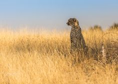 WIDE OPEN SPACES - A cheetah on grasslands in the Northern Tuli, Botswana.