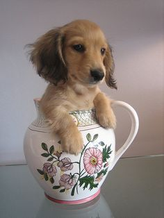 doxie in a jug