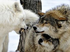 Their enchanting personality is quite visible in wolf pictures. Nevertheless, wolf pictures can not capture the awesome personality of wolves. Beautiful Creatures, Animals Beautiful, Cute Animals, Wolf Spirit, Spirit Animal, Tier Wolf, Alpha Wolf, Alpha Female Wolf, Wolf Love