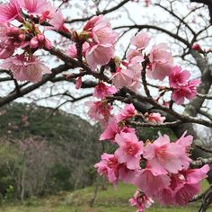 【chiroroboo】さんのInstagramをピンしています。 《はいはいはい、spring is just around the corner the winter has just arrived in Okinawa and will be over soon too⛄️ #goodbye#winter#hello#spring#cherryblossom#pink#flowers#beautiful#wishtheweatherwasbetter#still#goodday#dayoff#ストレス解消の旅#連休中#桜#八重岳#okinawa#instagood#nofilter》