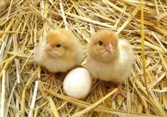 cute baby chicks and an egg