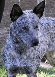 Stumpy Tail Australian Cattle Dog | kennel clubs working or herding dog clubs or internet based dog ...