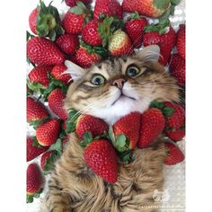 "Cats of Instagram From @my_lulu_cat: ""Strawberry pie🍓😹"""