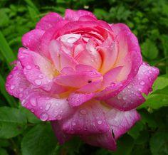 'Morning Blush' | Alba Rose. Rolf Sievers (Germany, 1974). | Flickr - © branrose24