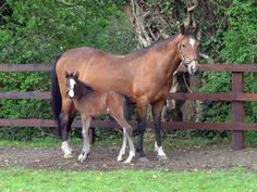 Irish Hunter horse has an excellent temperament, being calm, yet lively when needed, and is very tough.
