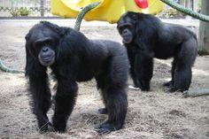 Un remoto paraje en Florida se convierte en el hogar de gorilas rescatados