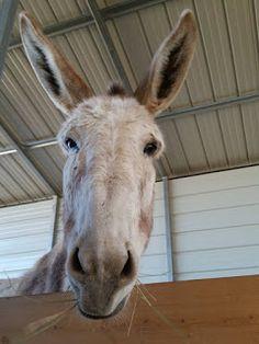 Foghorn Farm Donkey Training: Eight Big Mistakes New Donkey Owners Make Minature Donkey, Cute Donkey, Mini Donkey, Prey Animals, Barn Animals, Mules Animal, Raising Farm Animals, Goat Barn, Beautiful Horses