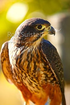 New Zealand Falcon (Falco novaeseelandiae; NZ Native threatened bird species, New Zealand (NZ) stock photo. Quality New Zealand images by well known photographer Rob Suisted, Nature's Pic Images. New Zealand Tattoo, New Zealand Art, Family Tree Quilt, Polar Bear Tattoo, List Of Birds, Key Tattoos, Maori Tattoos, Skull Tattoos, Foot Tattoos