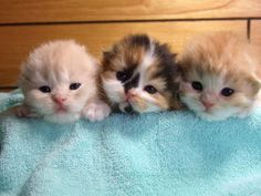 Precious little baby kittens. Cute Little Kittens, Cute Baby Cats, Cute Baby Animals, Kittens Cutest, Animals And Pets, Funny Animals, Kittens And Puppies, Cute Puppies, Beautiful Cats