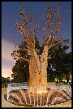 Gija Jumulu Boab, Kings Park, Botanic Garden, Perth, WA, Australia by Ilya Genkin / genkin.org, via Flickr Perth Western Australia, Australia Day, Australia Travel, Living In Adelaide, Tasmania, Kings Park, Star Trails, Largest Countries, Park City