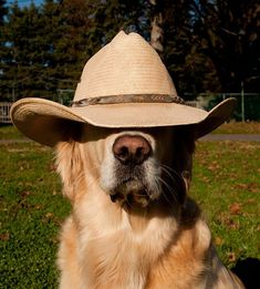 Haha, what a cute golden. Although I don't think he can see very well with the hat on.