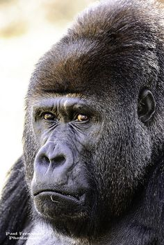 Gorilla Silverback.he sure must have some serious thinking to do..that expression is priceless n soooo human like