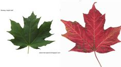 On the left is a photo of the Norway maple leaf, which botanists say appears on the new polymer bills. On the right is a leaf from the sugar maple, the Canadian species that appears on the national flag.