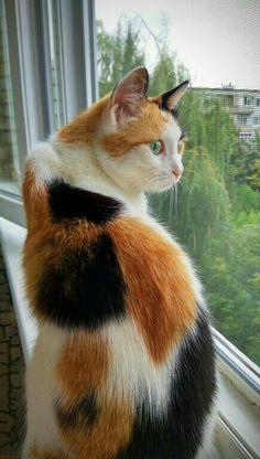 White Cats Shorthair Cats And Kittens - White cats shorthair _ weiße katzen kurzhaar _ chats blancs shorthair _ gatos bl - Cute Cats And Kittens, I Love Cats, Crazy Cats, Cool Cats, Ragdoll Kittens, Funny Kittens, Bengal Cats, Adorable Kittens, Pretty Cats