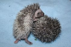 Baby Hedgehogs For Sale In Northeast Texas