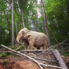 Billie in her new habitat.....elephant sanctuary in TN