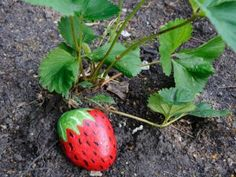 Starting Strawberry Plants from Runners   http://thehomesteadsurvival.com/starting-strawberry-plants-runners/