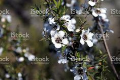 Bridget LazenbyGould on Twitter Photo Tree, Tea Tree, Commercial, Royalty Free Stock Photos, Flowers, Photography, Twitter, Image, Google