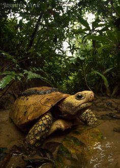 Elongated tortoise (Indotestudo elongata) photographed by Jasmine Vink in Bangladesh.