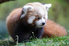 Dear red panda baby, are you serious? How can you look so cute? How is it possible? Where did you come from?