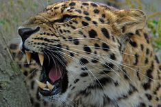 Roaring Amur Leopard | Flickr - Photo Sharing! Amur Leopard, Snow Leopard, Angry Animals, Animals And Pets, Lovely Creatures, Majestic Animals, Animals Of The World, Tiger, Big Cats