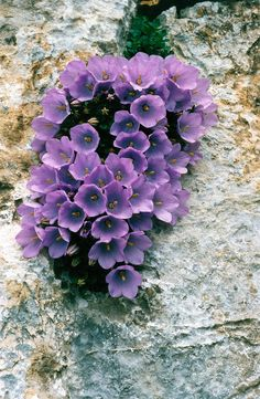 How to Plant Potted Flowers Outdoors in the Soil : Garden Space – Top Soop Rock Flowers, Flowers Nature, Exotic Flowers, Amazing Flowers, Purple Flowers, Exotic Plants, Wild Flowers, Beautiful Flowers, Alpine Garden