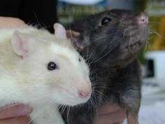 Rat | Platform Verantwoord Huisdierenbezit