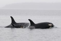 J51 swims between his grandmother, J19 Shachi, and mom J41 Eclipse.