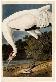 "John James Audubon ""Whooping Crane"", antique ornithology print from 1834."