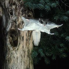 Southern flying squirrels (Glaucomys volans) eat the same foods as northern flying squirrels but the quantities differ. Description from markgelbart.wordpress.com. I searched for this on bing.com/images