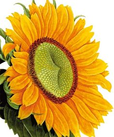 Sunflower - Natural History Museum greeting card