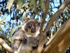 Kangaroo Island, koala, via Flickr.
