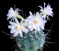 Matucana madisoniorum white flower