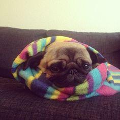 Pug burrito