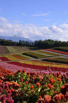 Flower field, Biei, Hokkaido, Japan