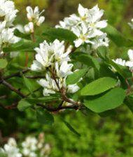 Amelanchier alnifolia - marjatuomipihlaja