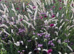 Wimpernperlgras / Knautia / 'lilac Beauty'