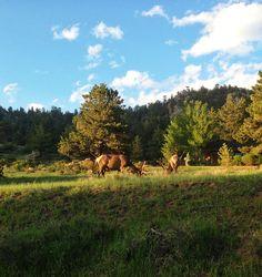 Elk in Estes Park, Colorado #coloradofound