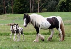 Ivy with her colt and filly_Surrey Springs Gypsy Cobs