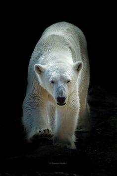 Ranzo, the polar bear of ZOO Vienna, Austria Bear Photos, Bear Pictures, Animal Pictures, Large Animals, Cute Animals, Alaska, Polar Bears International, Racing Extinction, Animal Agriculture