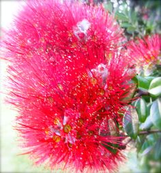 This weeks theme is the colour Red, one of my favourite colours New Zealand native Pohutakawa tree - aka New Zealand Christmas Tree . Rock Flowers, Hibiscus Flowers, Flora Garden, Garden Art, Christmas Images, Christmas Tree, Beautiful Gardens, Beautiful Flowers, Long White Cloud
