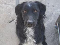 Ace is an adoptable Australian Shepherd Dog in Las Vegas, NV. Hello, I'm a 2 1/2 yr old male that is looking for a forever home. I'm a gorgeous blk/white boy. While I'm waiting for my forever home, a ...