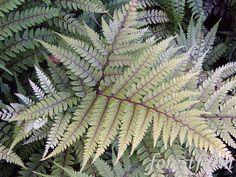 Athyrium otophorum   - English Painted Fern  - Leaves