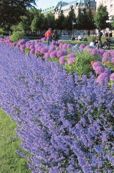 Giant allium and catmint - snapshot taken in Stockholm, Sweden. My favorite flower combination!