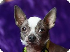Bedminster, NJ - Xoloitzcuintle/Mexican Hairless. Meet Macy - Bonded with Gucci, a dog for adoption. http://www.adoptapet.com/pet/12306745-bedminster-new-jersey-xoloitzcuintlemexican-hairless